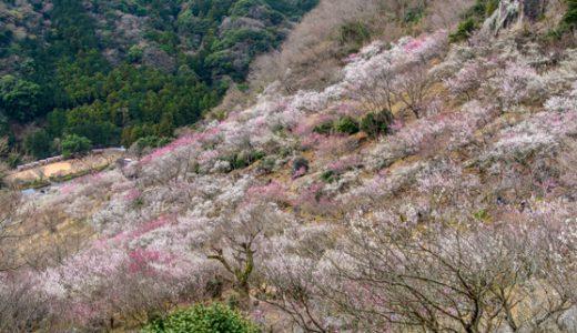 「湯河原梅林 梅の宴」は2月2日~3月10日開催!スタート直前の開花状況レポート♪