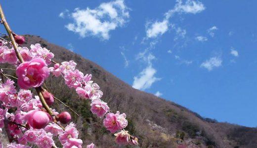 山肌一面に咲く4000本、30種類の白梅・紅梅を見に湯河原梅林へ…2/2から!