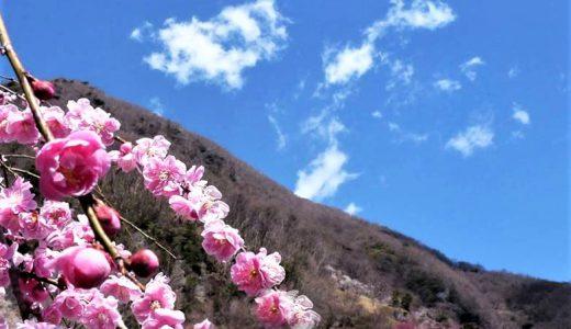 湯河原梅林『梅の宴』2/6(土)~3/7(日)開催! 祝日・週末予定の各種イベントは中止となります