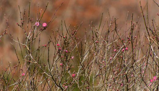 秋の終わりから新春へ♪幕山で梅が開花しましたよ~