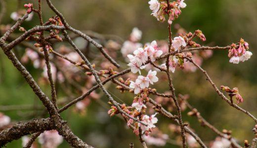 早咲きの桜が咲き始めた川端公園