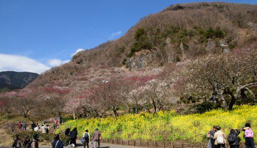 湯河原梅林はいよいよ見頃突入!花の絶景が楽しめる幕山へ出かけよう~♪