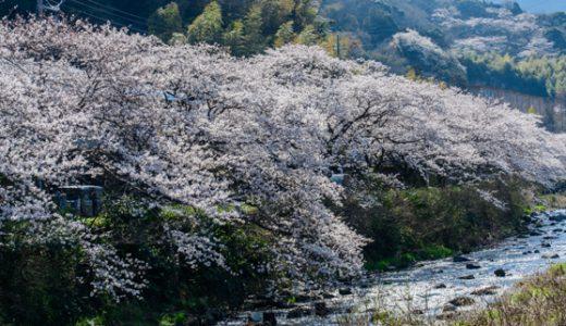 湯河原で撮れた桜フォト♪