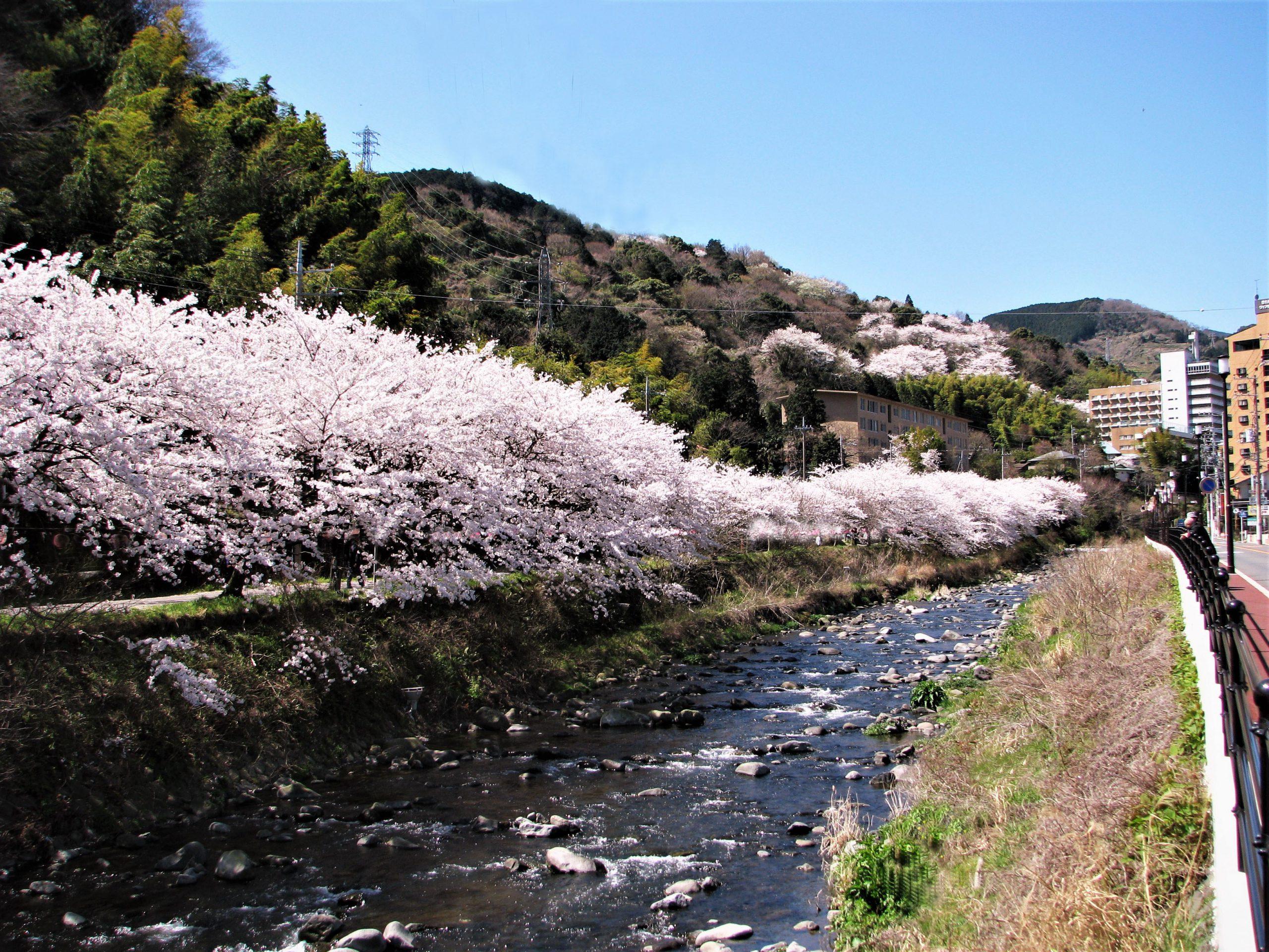 3/18ゆがわら温泉千歳川沿い桜並木ライトアップ開始!